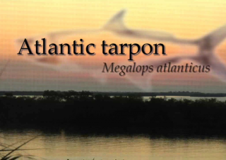 Tarpon – Megalops Atlanticus – ain't easy to catch