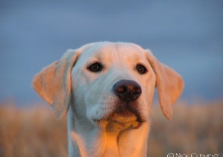 White Labrador Retriever