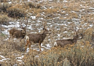 Colorado's Mule Deer Story